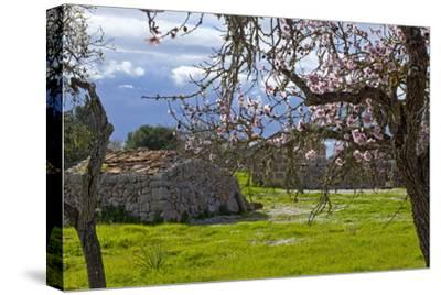 Europe, Spain, Majorca, Pink Almond Blossoms, Bitter Almond Blossom-Chris Seba-Stretched Canvas Print