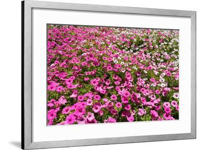 South Africa, Capetown, the Company's Garden, Petunias-Catharina Lux-Framed Photographic Print