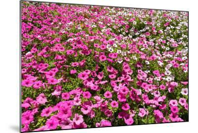 South Africa, Capetown, the Company's Garden, Petunias-Catharina Lux-Mounted Photographic Print