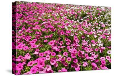 South Africa, Capetown, the Company's Garden, Petunias-Catharina Lux-Stretched Canvas Print