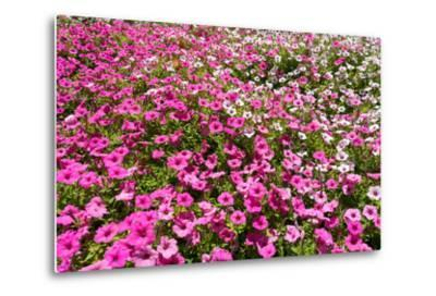 South Africa, Capetown, the Company's Garden, Petunias-Catharina Lux-Metal Print