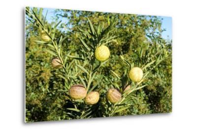 South Africa, Platycodon, Gomphocarpus Fruticosus-Catharina Lux-Metal Print