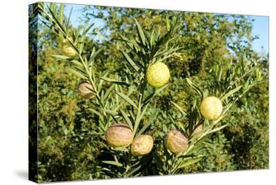 South Africa, Platycodon, Gomphocarpus Fruticosus-Catharina Lux-Stretched Canvas Print