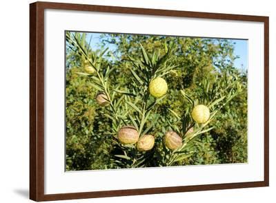 South Africa, Platycodon, Gomphocarpus Fruticosus-Catharina Lux-Framed Photographic Print
