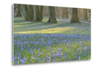 Crocus in the Park at Sunrise, Spring, Husum Schlosspark, Schleswig Holstein, Germany-Raimund Linke-Metal Print