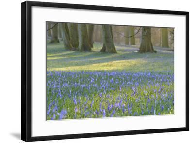 Crocus in the Park at Sunrise, Spring, Husum Schlosspark, Schleswig Holstein, Germany-Raimund Linke-Framed Photographic Print