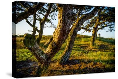 The Netherlands, Frisia, Terschelling, Dunes, Pine, Pinewood-Ingo Boelter-Stretched Canvas Print