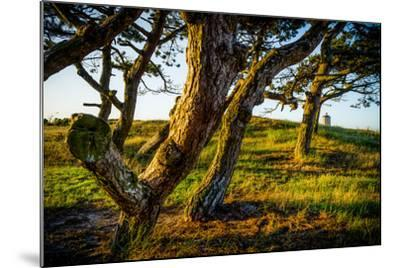 The Netherlands, Frisia, Terschelling, Dunes, Pine, Pinewood-Ingo Boelter-Mounted Photographic Print