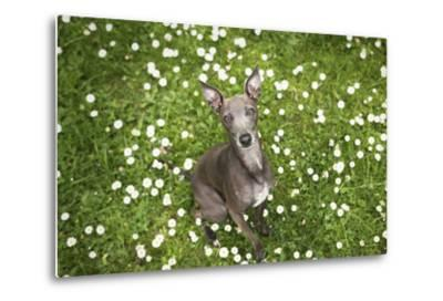 Italian Greyhound, Flower Field, Sitting, Looking at Camera-S. Uhl-Metal Print