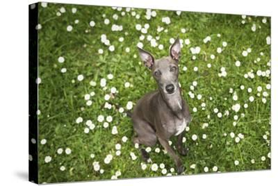 Italian Greyhound, Flower Field, Sitting, Looking at Camera-S. Uhl-Stretched Canvas Print