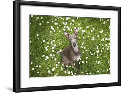 Italian Greyhound, Flower Field, Sitting, Looking at Camera-S. Uhl-Framed Photographic Print