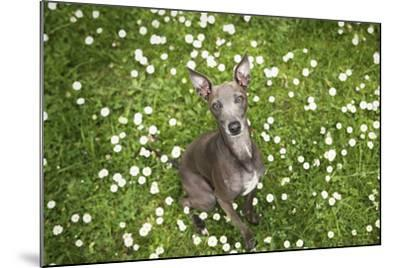 Italian Greyhound, Flower Field, Sitting, Looking at Camera-S. Uhl-Mounted Photographic Print
