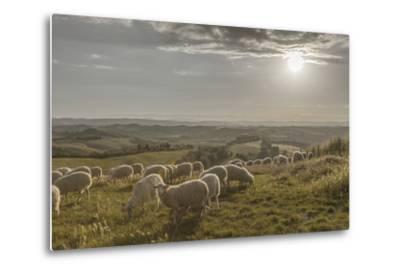 Europe, Italy, Tuscany, Near Siena, Le Crete, Flock of Sheep, Back Light Photography-Gerhard Wild-Metal Print