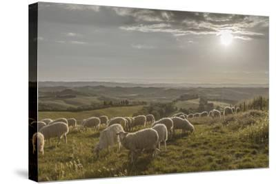 Europe, Italy, Tuscany, Near Siena, Le Crete, Flock of Sheep, Back Light Photography-Gerhard Wild-Stretched Canvas Print