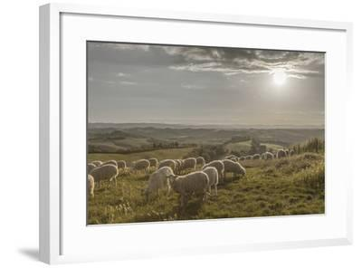 Europe, Italy, Tuscany, Near Siena, Le Crete, Flock of Sheep, Back Light Photography-Gerhard Wild-Framed Photographic Print