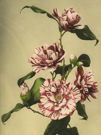 Camellias-Kazumasa Ogawa-Framed Giclee Print