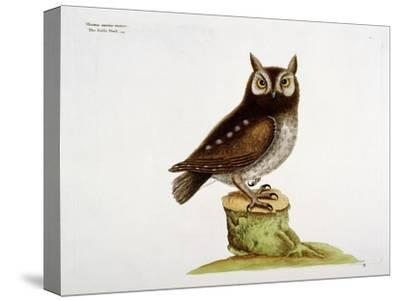 The Little Owl-Mark Catesby-Stretched Canvas Print