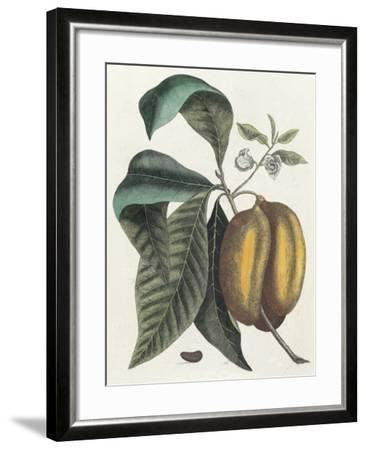 Anona Fructu Lutescente Laevi, Scrotum Arietis Referente-Mark Catesby-Framed Giclee Print
