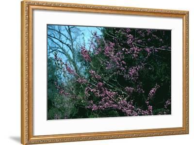 Redbud Tree in Bloom-Gregg Vicik-Framed Giclee Print