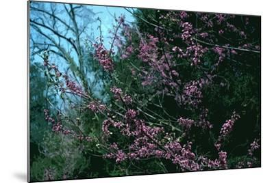 Redbud Tree in Bloom-Gregg Vicik-Mounted Giclee Print