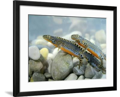 Alpine Newts, Side View, Two, Male-Harald Kroiss-Framed Photographic Print