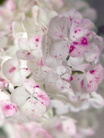 Hydrangeas, Blossoms, Detail, Ornamental Plant, Flowers-S. Uhl-Framed Photographic Print