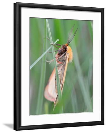 Clouded Buff, Male, Dewdrops, Drink-Harald Kroiss-Framed Photographic Print