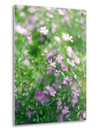 Ruprecht's Herb, Geranium Robertianum, Blossoms, Cranesbill Familys, Flowers-S. Uhl-Metal Print