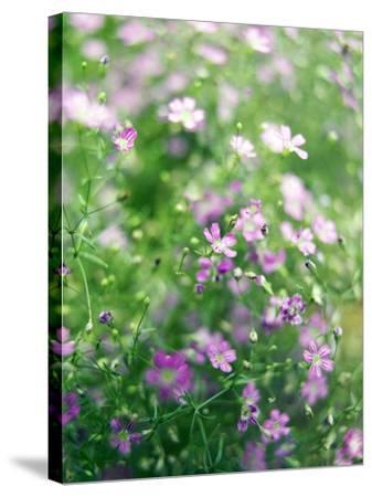 Ruprecht's Herb, Geranium Robertianum, Blossoms, Cranesbill Familys, Flowers-S. Uhl-Stretched Canvas Print