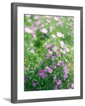 Ruprecht's Herb, Geranium Robertianum, Blossoms, Cranesbill Familys, Flowers-S. Uhl-Framed Photographic Print