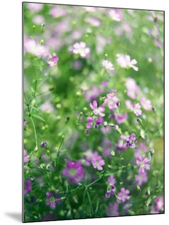Ruprecht's Herb, Geranium Robertianum, Blossoms, Cranesbill Familys, Flowers-S. Uhl-Mounted Photographic Print