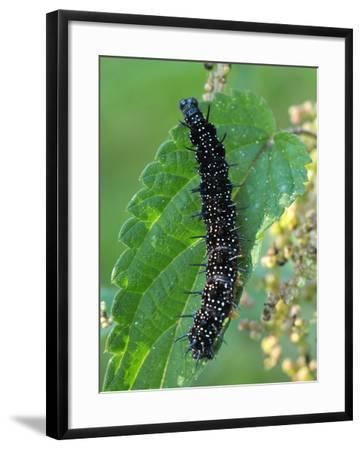 Caterpillar, Peacock Butterfly, Stinging Nettle-Harald Kroiss-Framed Photographic Print