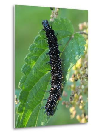 Caterpillar, Peacock Butterfly, Stinging Nettle-Harald Kroiss-Metal Print