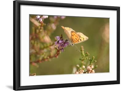 Small Copper Butterfly, Lycaena Phlaeas, Heath Blossom, Side View, Sitting-David & Micha Sheldon-Framed Photographic Print