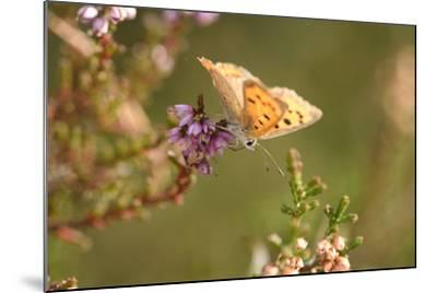 Small Copper Butterfly, Lycaena Phlaeas, Heath Blossom, Side View, Sitting-David & Micha Sheldon-Mounted Photographic Print