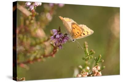 Small Copper Butterfly, Lycaena Phlaeas, Heath Blossom, Side View, Sitting-David & Micha Sheldon-Stretched Canvas Print