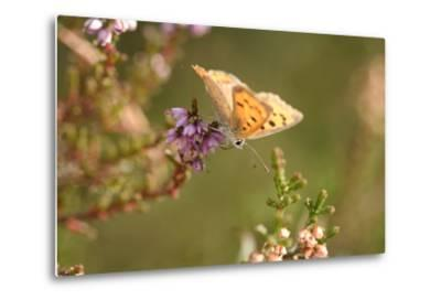 Small Copper Butterfly, Lycaena Phlaeas, Heath Blossom, Side View, Sitting-David & Micha Sheldon-Metal Print