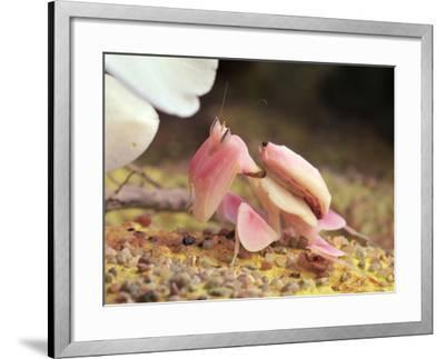 Praying Mantis, Orchid Mantis, Attack Position-Harald Kroiss-Framed Photographic Print
