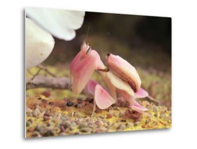 Praying Mantis, Orchid Mantis, Attack Position-Harald Kroiss-Metal Print