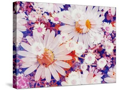 Composing with Marguerites and Daisies-Alaya Gadeh-Stretched Canvas Print
