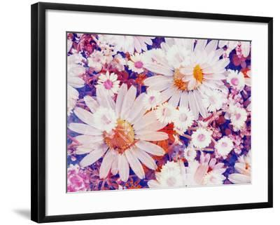 Composing with Marguerites and Daisies-Alaya Gadeh-Framed Photographic Print