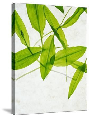 Wild Garlic, Allium Ursinum, Leaves, Green-Axel Killian-Stretched Canvas Print