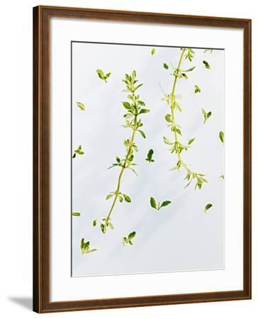 Thyme, Thymus Vulgare, Twigs, Leaves, Green-Axel Killian-Framed Photographic Print