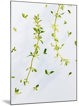 Thyme, Thymus Vulgare, Twigs, Leaves, Green-Axel Killian-Mounted Photographic Print