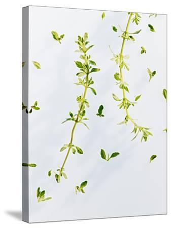 Thyme, Thymus Vulgare, Twigs, Leaves, Green-Axel Killian-Stretched Canvas Print