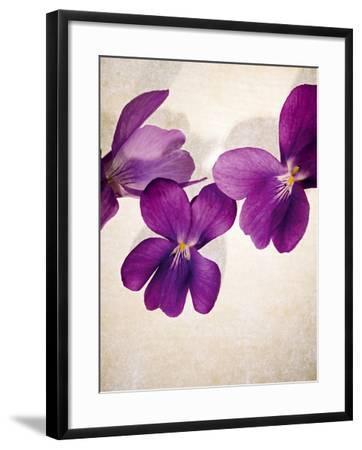 Sweet Violets, Violets, Viola Odorata, Blossoms, Violet-Axel Killian-Framed Photographic Print