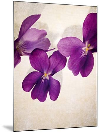 Sweet Violets, Violets, Viola Odorata, Blossoms, Violet-Axel Killian-Mounted Photographic Print