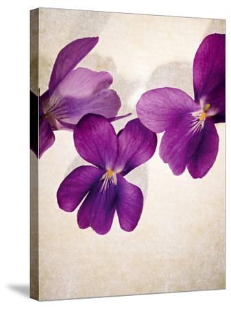 Sweet Violets, Violets, Viola Odorata, Blossoms, Violet-Axel Killian-Stretched Canvas Print