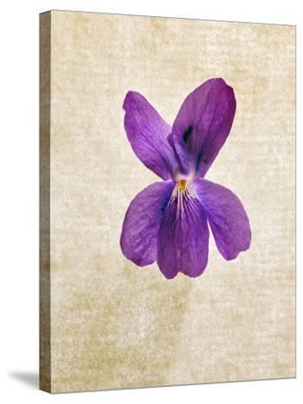 Sweet Violets, Violets, Viola Odorata, Blossom, Violet-Axel Killian-Stretched Canvas Print