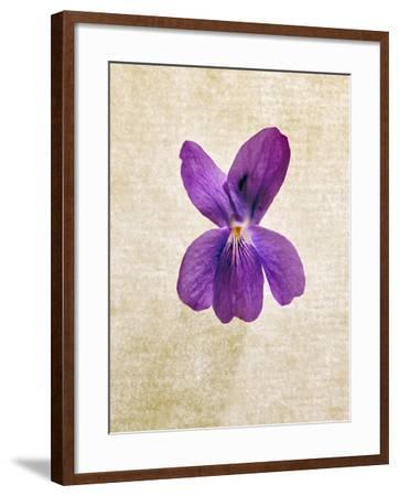Sweet Violets, Violets, Viola Odorata, Blossom, Violet-Axel Killian-Framed Photographic Print